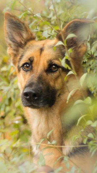 Обои на телефон немецкие, собаки, приятные, питомцы, german shepherd
