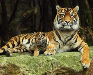 Обои на телефон тигры, джунгли, тигр, малыш, животные, дикие, wild animal, baby tiger