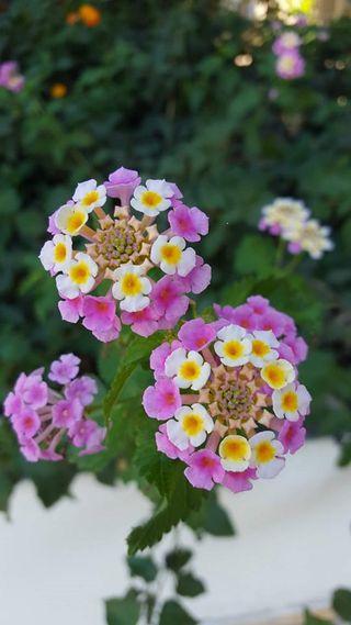 Обои на телефон сад, цветы, розовые, природа, белые, cyprus