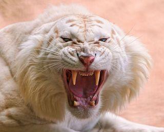 Обои на телефон тигр, белые, атака