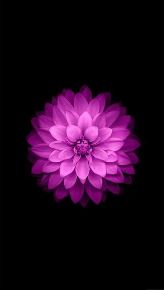 Обои на телефон лотус, черные, цветы, розовые, новый, лучшие, красые, айфон, iphone, hd