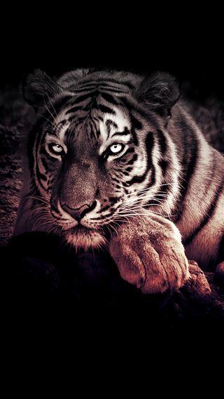 Обои на телефон дикие, тигр