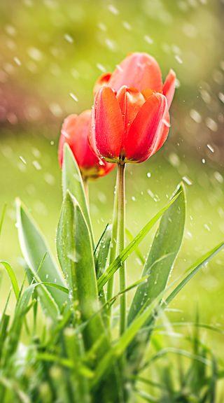 Обои на телефон тюльпаны, цветы, tulip flower