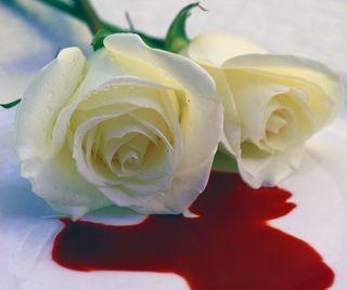 Обои на телефон болит, цветы, розы, повредить, любовь, боль, белые, white rose, when love hurts, love, deception