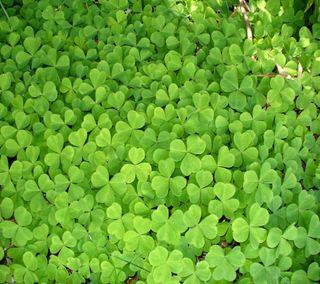 Обои на телефон трилистник, праздник, патрик, листья, клевер, ирландия