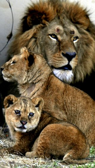 Обои на телефон семья, лев, коричневые