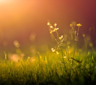 Обои на телефон утро, трава, восход, весна, цветы, природа