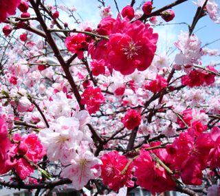Обои на телефон цвести, расцветает, дерево, вишня, cherry blossom 3
