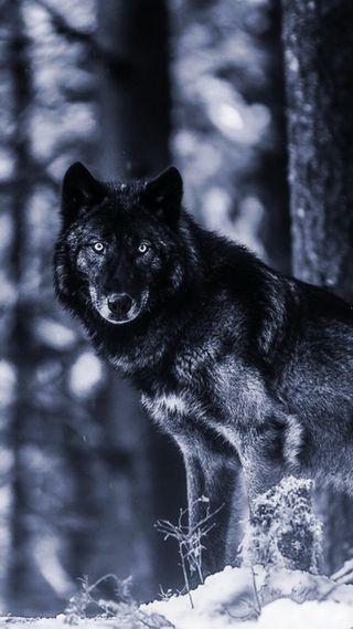 Обои на телефон снег, черные, животные, волк