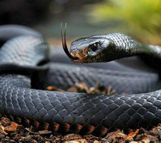 Обои на телефон рептилия, змея