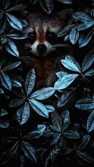 Обои на телефон супер, лиса, животные, амолед, sirin, raccoon, hayvan, forester, 4k tilki, 4k
