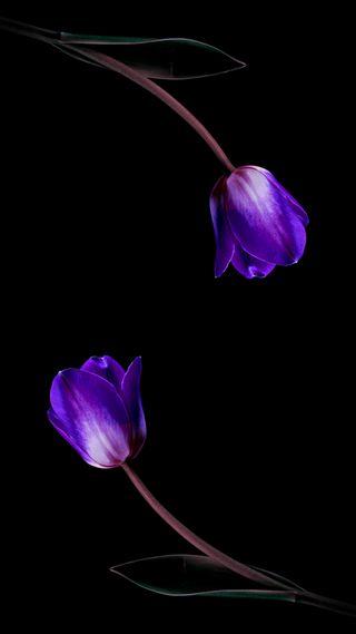 Обои на телефон тюльпаны, фиолетовые