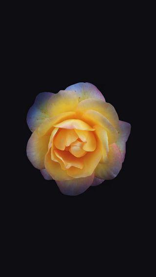 Обои на телефон фотошоп, цветы, темные, желтые, bloomed