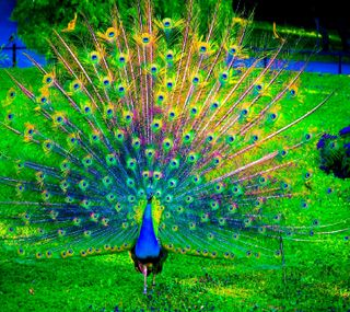 Обои на телефон павлин, peacock -----------, ------------
