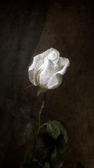 Обои на телефон розы, белые