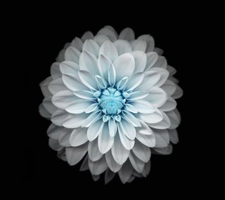 Обои на телефон tyur, wwt, white lotus, белые, лотус