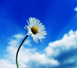 Обои на телефон маргаритка, цветы, природа, пейзаж
