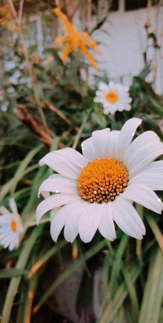 Обои на телефон маргаритка, цветы, papatya