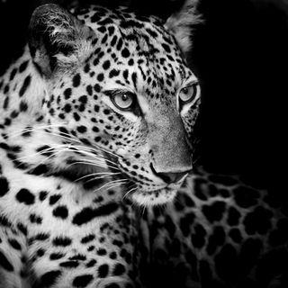 Обои на телефон леопард, черные, животные, дикие, взгляд, белые, wild look