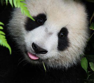 Обои на телефон панда, милые, животные, panda 1
