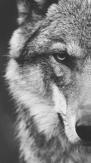 Обои на телефон серые, волк, gray wolf