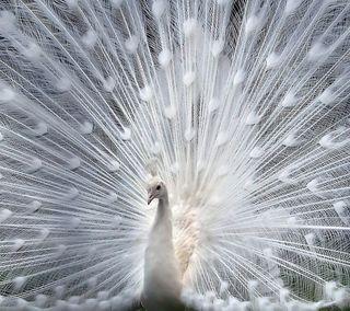 Обои на телефон павлин, птицы, перья, перо, животные, белые, white feathers