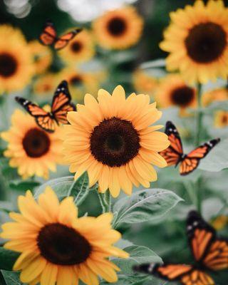 Обои на телефон подсолнухи, эстетические, симпатичные, природа, sunflower aesthetic