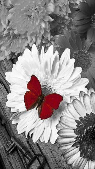 Обои на телефон красые, бабочки, red butterfly, gfd