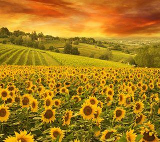 Обои на телефон растения, цветы, холм, закат