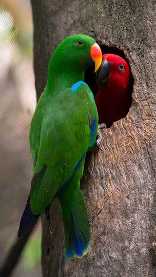 Обои на телефон попугай, пара