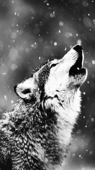 Обои на телефон снег, животные, волк