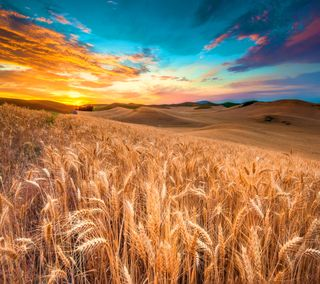 Обои на телефон цветные, пшеница, природа, поле, небо, закат, wheat field, sunset nature, color sky