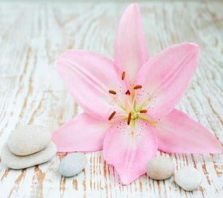 Обои на телефон конепт, цветы, розовые, прекрасные, камни, дзен, zen concept, beautiful pink