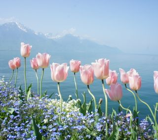 Обои на телефон тюльпаны, розовые, озеро, весна