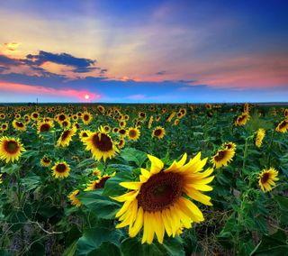 Обои на телефон подсолнухи, цветные, фото, природа, поле, пейзаж, sunflower field