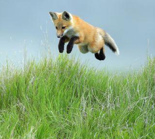 Обои на телефон лиса, красые, saskatchewan, pup, leaping