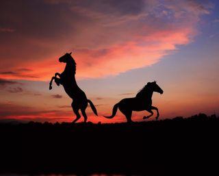 Обои на телефон тень, силуэт, поле, лошади, закат, животные