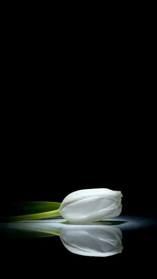 Обои на телефон тюльпаны, белые