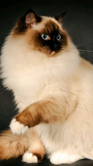 Обои на телефон коты, icio, gatto siamese