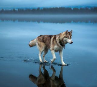 Обои на телефон ходячие, хаски, озеро, собаки, пруд, природа, вода, dog walking on water