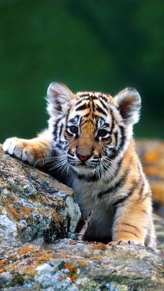 Обои на телефон тигр, малыш