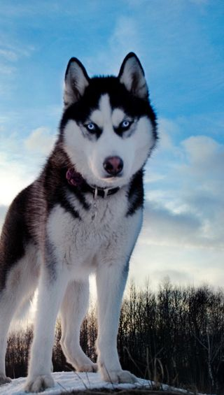 Обои на телефон холм, хаски, собаки, снег
