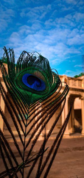 Обои на телефон павлин, фотография, телефон, синие, перо, оранжевые, зеленые, естественные, coloured