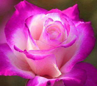Обои на телефон лепестки, цветы, романтика, розы, розовые, приятные, природа, новый, любовь, естественные, love