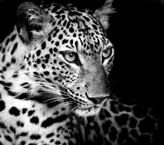 Обои на телефон дикие, черные, леопард, животные, взгляд, белые, wild look