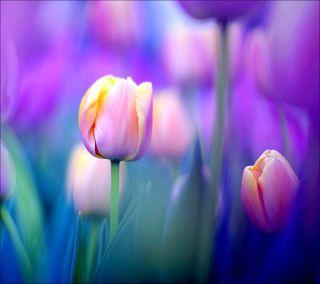 Обои на телефон тюльпаны, purpie