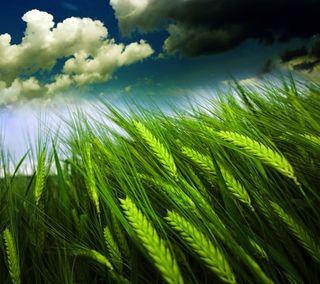 Обои на телефон поле, синие, облака, небо, зерно, зеленые, grain field