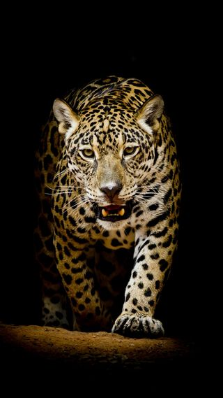 Обои на телефон леопард, лев, коты, leopard 4k
