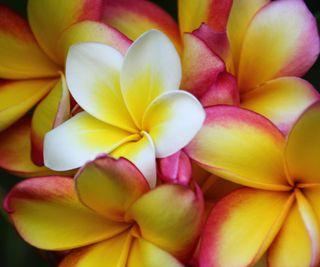 Обои на телефон естественные, цветы, природа, новый, лучшие, крутые, frangipani