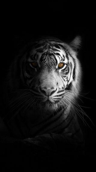 Обои на телефон популярные, черные, тигр, прекрасные, новый, любовь, лев, король, животные, белые, love